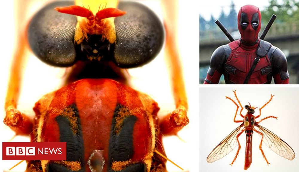 Deadpool fly among novel Australian 'good strength' species creating a buzz